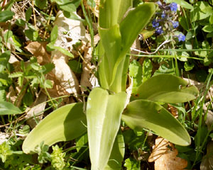 Orchis mascula (click per ingrandire l'immagine)