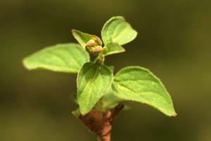 Origanum vulgare (click per ingrandire l'immagine)