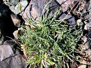 Plantago serpentina (click per ingrandire l'immagine)