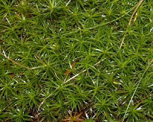 Polytrichium juniperinum (click per ingrandire l'immagine)