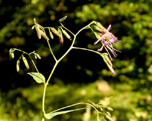 Prenanthes purpurea (click per ingrandire l'immagine)