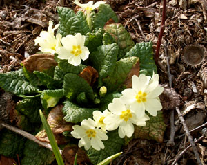 Primula vulgaris (click per ingrandire l'immagine)