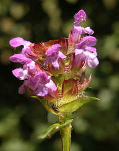 Prunella vulgaris (click per ingrandire l'immagine)
