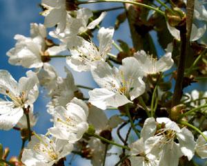 Prunus avium (click per ingrandire l'immagine)