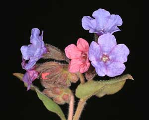 Pulmonaria officinalis (click per ingrandire l'immagine)