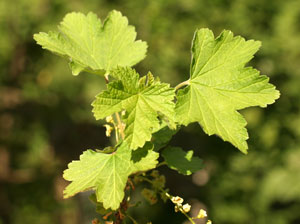 Ribes alpinum (click per ingrandire l'immagine)