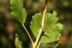 Ribes uva-crispa (click per ingrandire l'immagine)