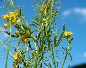 Rorippa sylvestris (click per ingrandire l'immagine)
