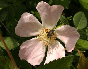 Rosa canina (click per ingrandire l'immagine)