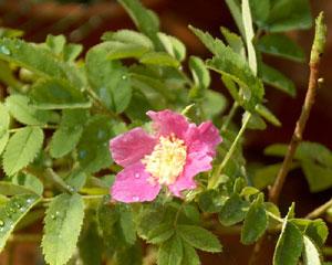 Rosa pendulina (click per ingrandire l'immagine)