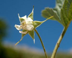 Rubus idaeus (click per ingrandire l'immagine)