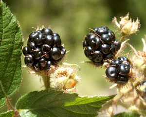 Rubus ulmifolius (click per ingrandire l'immagine)