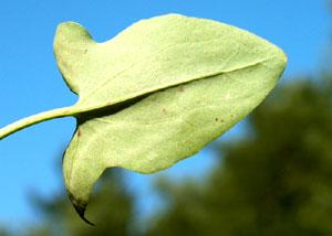 Rumex scutatus (click per ingrandire l'immagine)