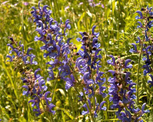 Salvia pratensis (click per ingrandire l'immagine)