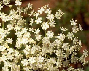 Sambucus nigra (click per ingrandire l'immagine)