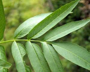 Sambucus racemosa (click per ingrandire l'immagine)