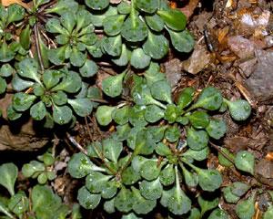 Saxifraga cuneifolia (click per ingrandire l'immagine)