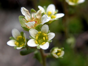 Saxifraga moschata (click per ingrandire l'immagine)