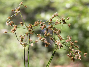 Scirpus sylvaticus (click per ingrandire l'immagine)