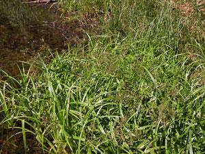 Scirpus sylvaticus (click per ingrandire l'immagine)