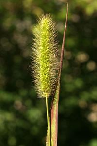 Setaria viridis (click per ingrandire l'immagine)