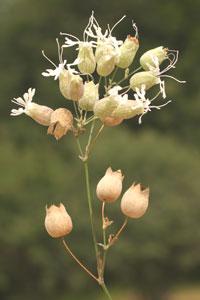 Silene vulgaris (click per ingrandire l'immagine)