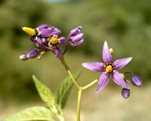Solanum dulcamara (click per ingrandire l'immagine)