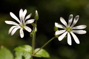 Stellaria nemorensis (click per ingrandire l'immagine)