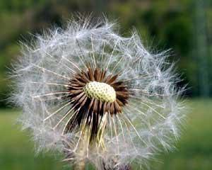 Taraxacum officinale (click per ingrandire l'immagine)