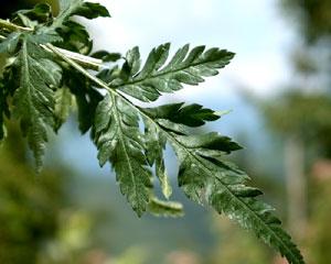 Torylis japonica (click per ingrandire l'immagine)