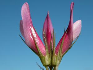 Trifolium alpinum (click per ingrandire l'immagine)