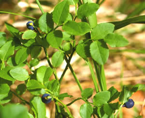 Vaccinium myrtillus (click per ingrandire l'immagine)