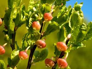 Vaccinium myrtillus (click per ingrandire l'immagine)
