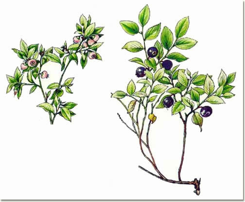 Vaccinium myrtillus