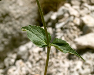 Valeriana montana (click per ingrandire l'immagine)