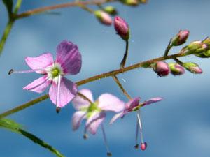 Veronica urticifolia (click per ingrandire l'immagine)