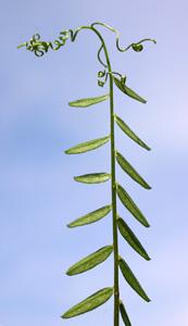 Vicia sylvatica (click per ingrandire l'immagine)