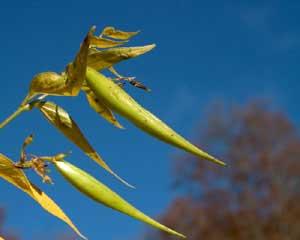 Vincetoxicum hirundinaria (click per ingrandire l'immagine)