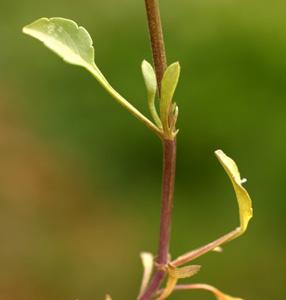 Viola bertoloni (click per ingrandire l'immagine)
