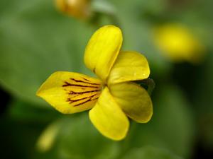 Viola biflora (click per ingrandire l'immagine)