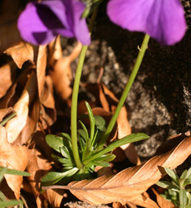 Viola calcarata (click per ingrandire l'immagine)