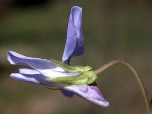 Viola canina (click per ingrandire l'immagine)