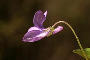 Viola reichembachiana (click per ingrandire l'immagine)
