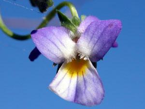 Viola tricolor (click per ingrandire l'immagine)