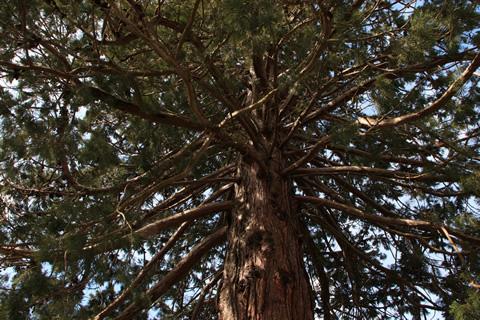 Sequoia di Allegrezze (aprile 2009) - Fotografia di Giacomo Turco