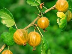 Ribes uva crispa (fotografia di Giorgio Venturini)